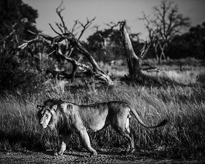 4556-Young_lion_on_the_road_Laurent_Baheux