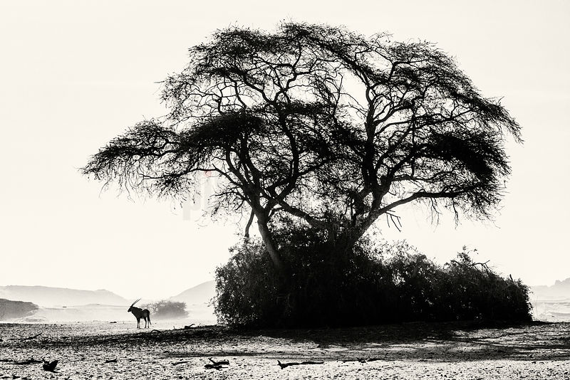 Lone Gemsbok and a Camelthorn Tree