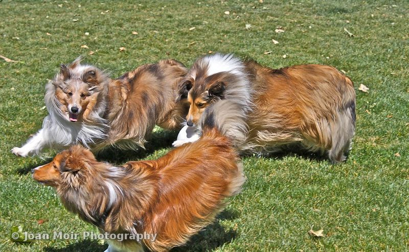 Sheltie_Sunday_-_35