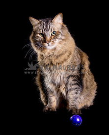 big grey and yellow tabby Main Coon cat sitting in front of purple ball