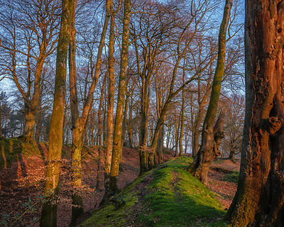 Beech trees with early Spring sunlight at Woodbury Castle, near Exmouth, Devon, UK.