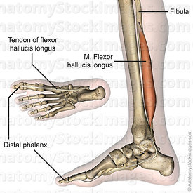 lowerleg-musculus-flexor-hallucis-longus-muscle-tendon-distal-phalanx-medial-side-skin-names