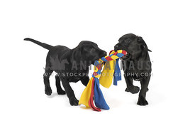 Two black lab puppies playing tug on white background