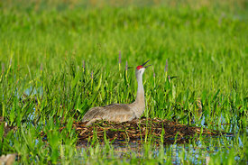 Sandhill Crane Grus canadensis incubating egg on nest Viera Wetlands Florida