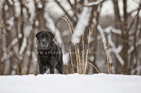 black lab standing in snow with trees