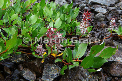 Tea-Leaved Willow (Salix phylicifolia), West Fjords, Iceland