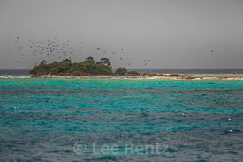 Magnificent Frigatebirds in flight in Dry Tortugas National Park