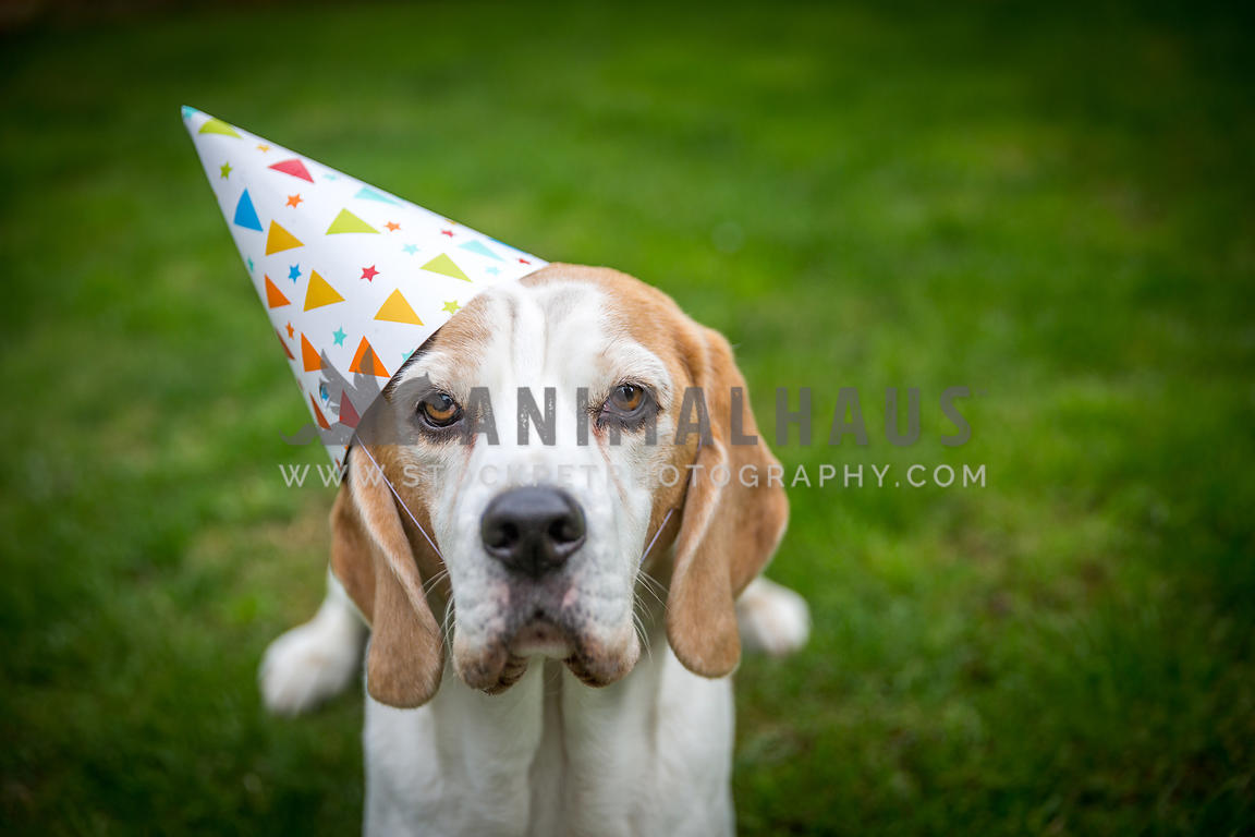 Dog with a Birthday Hat looking up