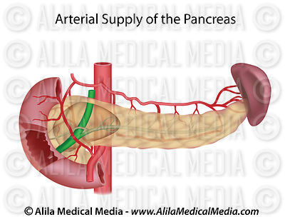 Pancreas blood supply, unlabeled.