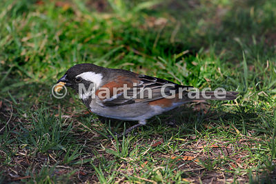 Male Cape Sparrow or Mossie (Passer melanurus), Sandton, Johannesburg, Republic of South Africa