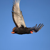Wing upstroke of Bateleur eagle