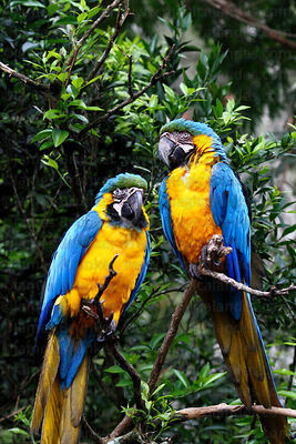 Blue and yellow macaw ( Ara ararauna )