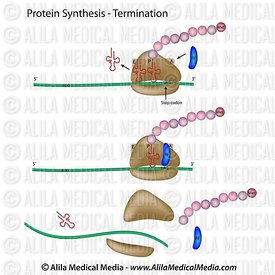 Protein synthesis termination