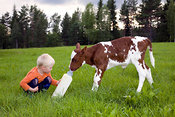 The boy gives milk for calf of a cow