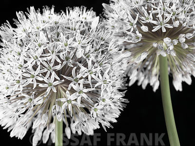 Two Allium flowers