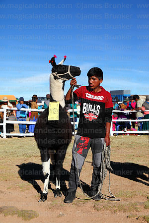 Young owner wearing Chicago Bulls team shirt waits with his llama during competition, Curahuara de Carangas, Bolivia