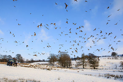Red kite feeding, Gigrin Farm