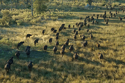 Aerial view of herd of African buffalo (Syncerus caffer) running, Okavango delta, Botswana, July