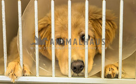 golden retriever puppy in cage post surgery