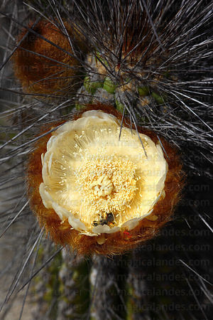 Flower of Sheepstail cactus ( Eulychnia breviflora ), Chile