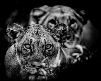3672-Two_lionesses_looking_at_us_Laurent_Baheux