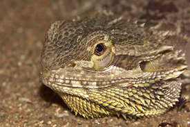 Pogona vitticeps - Bearded dragon