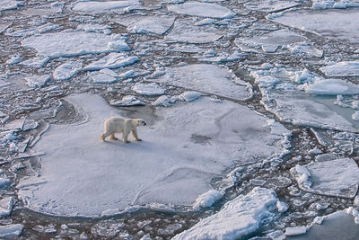 Polar bear (Ursus maritimus) walking on pack ice, Svalbard, Norway. September.