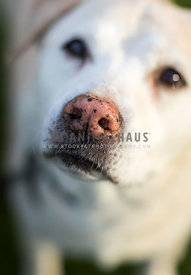 spotted pink nose on a yellow labrador