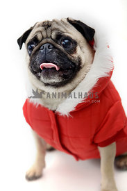 pug wearing red hooded jacket