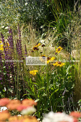 Association de vivaces : Salvia nemorosa 'Caradonna', Rudbeckia spp. Paysagiste : Peter Reader, Hampton Court, Angleterre