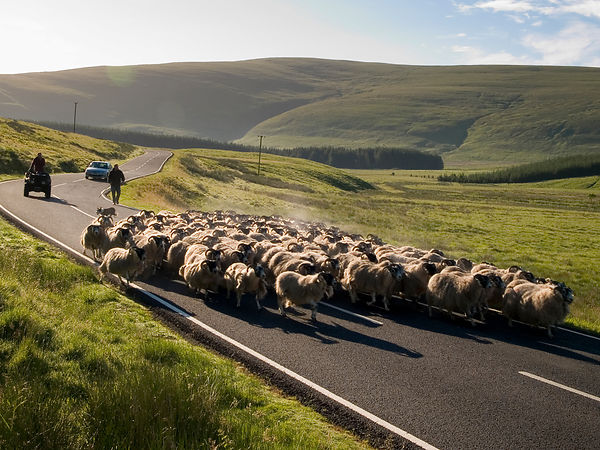 Droving sheep on the road.