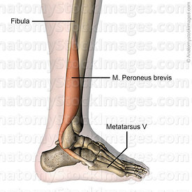 lowerleg-musculus-peroneus-brevis-fibularis-muscle-lateral-metatarsi-fibula-tendon-side-skin-names