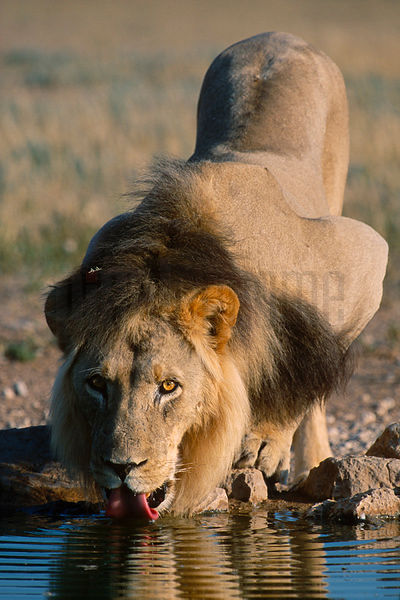 Male Lion at Waterhole