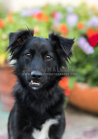 black spaniel mix dog with confused look