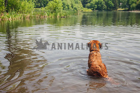 red Golden Retriever sitting at the edge of a pond
