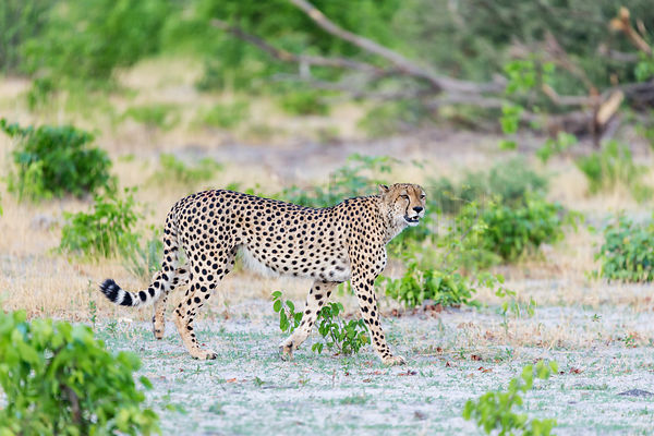 Cheetah Walking in the Bush