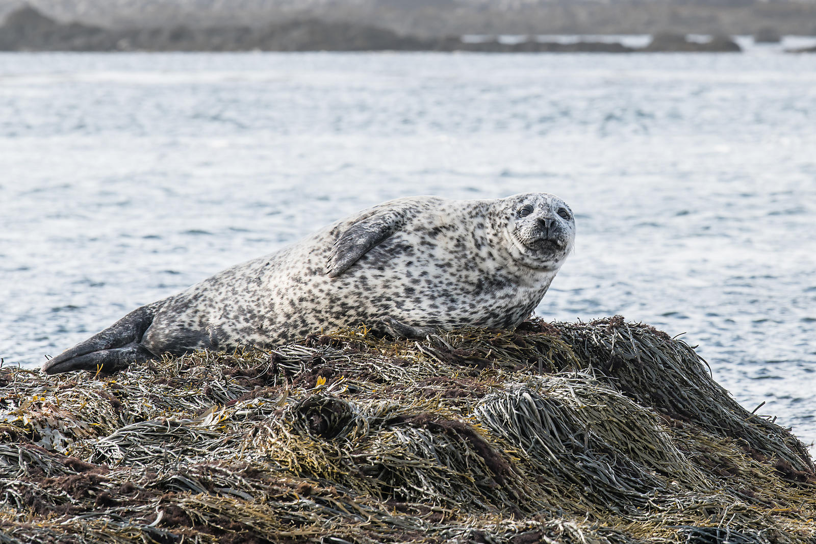 Harbour Seal #1
