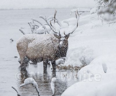 Elk-_Madison_River-1093_January_19_2018_Nat_White