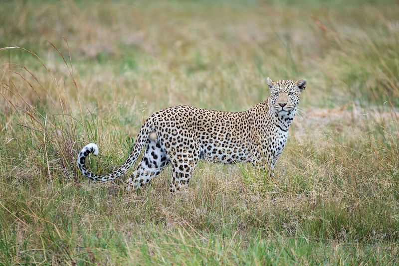 Male Leopard Stsnding in Tall Grass