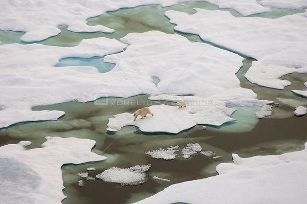 Polar bear (Ursus maritimus) sow and cub walking on multi-layer ice (freshwater pans formed over the years where the salt is ...