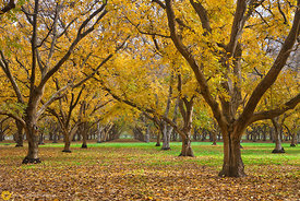 Walnut Orchards in Fall #12