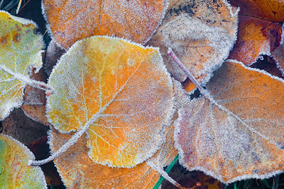 Apricot leaves covered in frost.