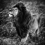 09406-The_black_King_Tanzania_2018_Laurent_Baheux