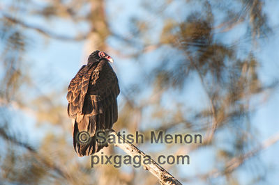 Turkey Vulture, San Jose, CA, USA