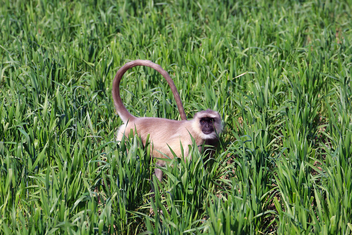 A langur monkey in a wheat field, Kharekhari village, Rajasthan, India