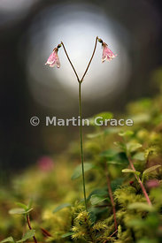 Twinflower (Linnea borealis), Loch Fleet NNR, Sutherland - shortlisted in the Scottish Botanical category of Scottish Nature ...