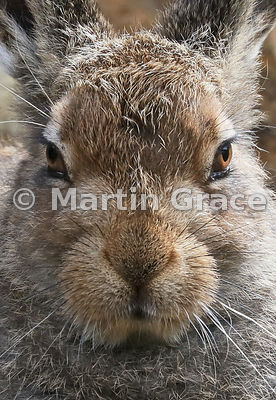 Close-up face portrait of Mountain Hare (Arctic Hare) (Lepus timidus) leveret, July 16, Gaick Forest, Scottish Highlands