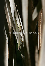 Phelsuma sp Gecko, Isalo National Park, Madagascar