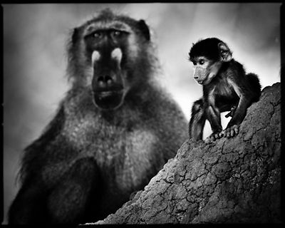 7327-Baboon_with_an_adult_Botswana_2009_Laurent_Baheux