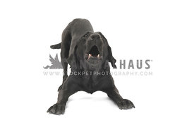 Black lab barking play bow against white background